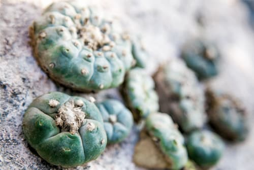 Peyote cactus in the sand